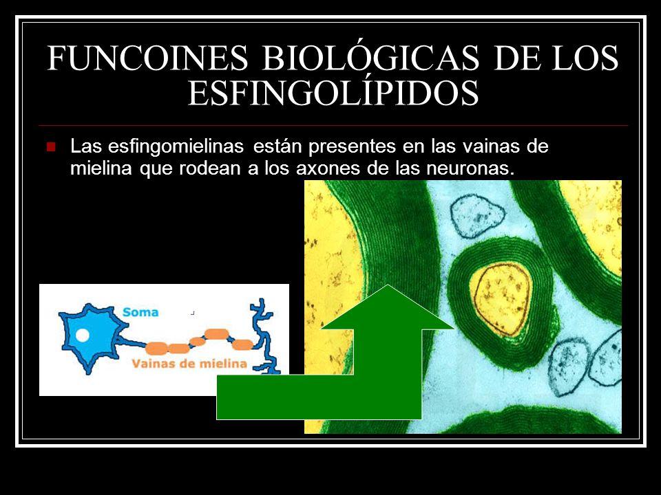 FUNCOINES BIOLÓGICAS DE LOS ESFINGOLÍPIDOS