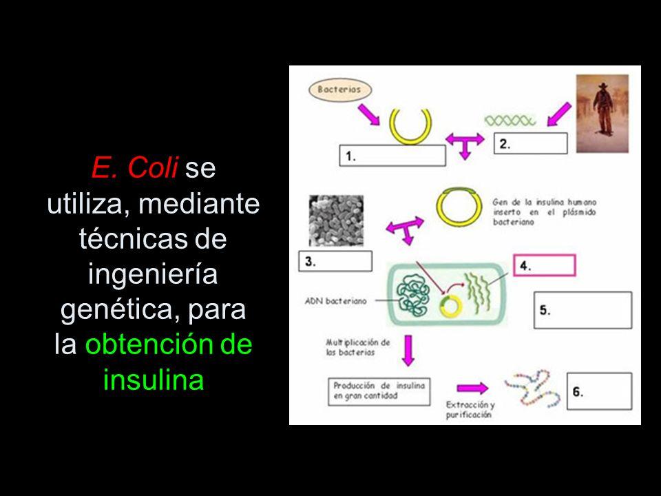 E. Coli se utiliza, mediante técnicas de ingeniería genética, para la obtención de insulina