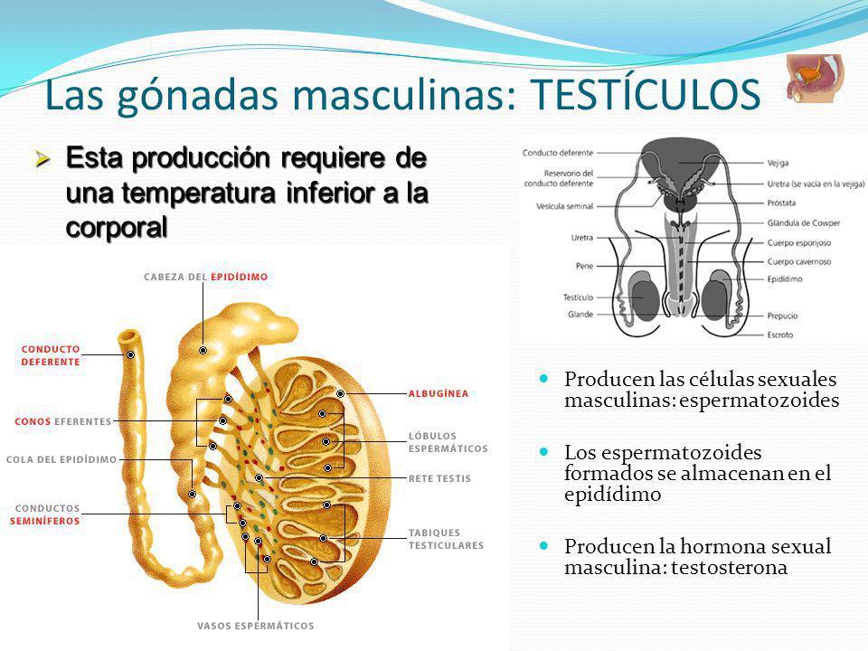Las gónadas masculinas: TESTÍCULOS