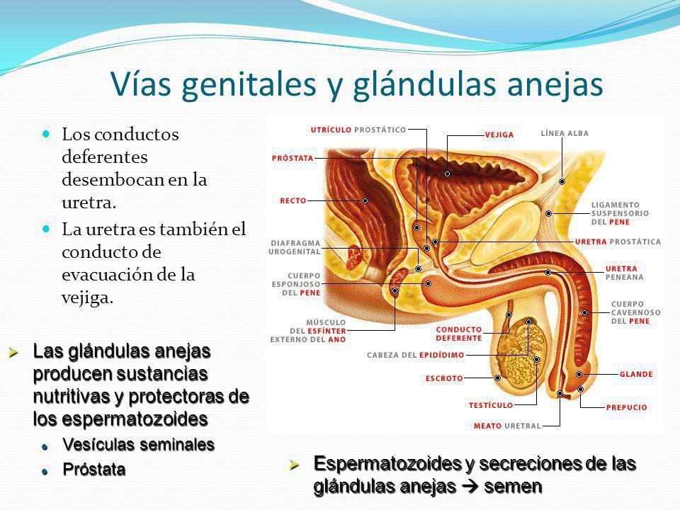 Vías genitales y glándulas anejas