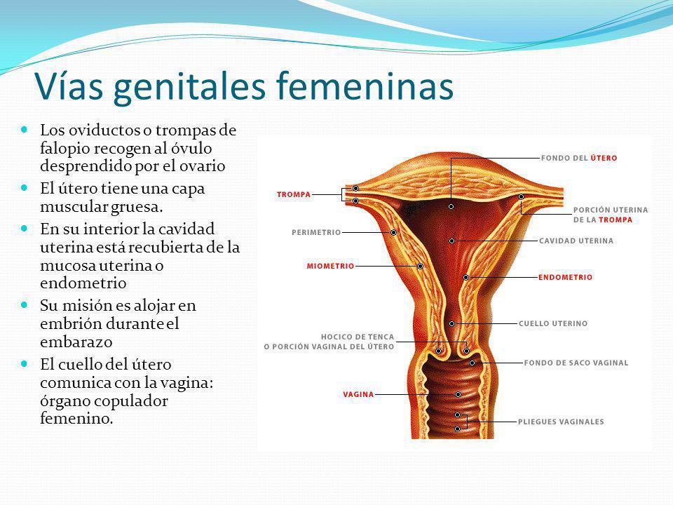 Vías genitales femeninas