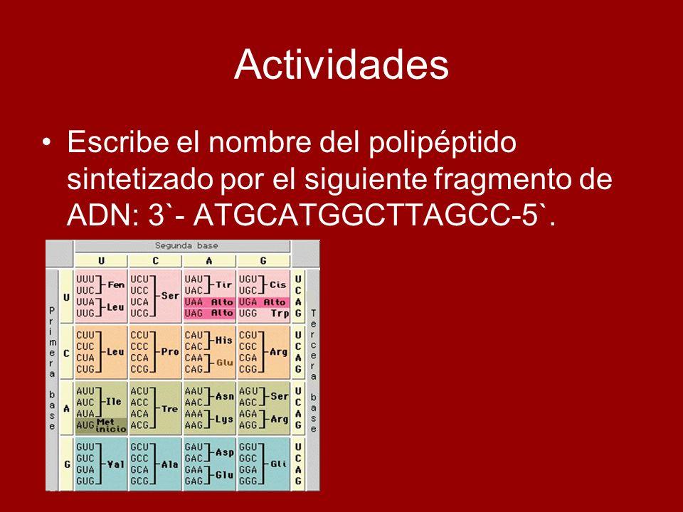ActividadesEscribe el nombre del polipéptido sintetizado por el siguiente fragmento de ADN: 3`- ATGCATGGCTTAGCC-5`.