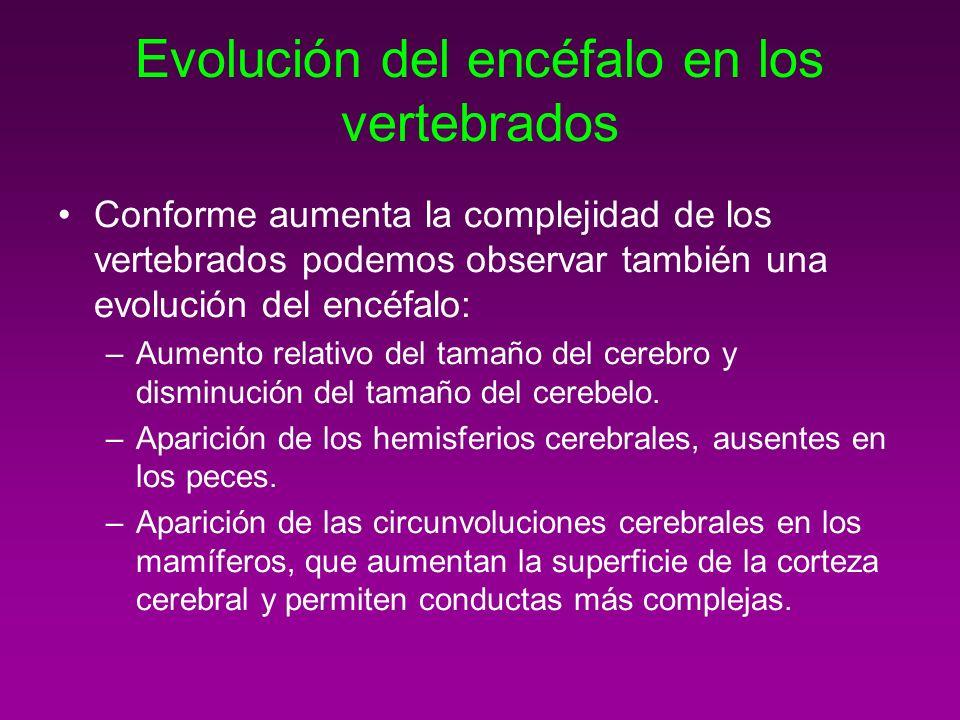 Evolución del encéfalo en los vertebrados