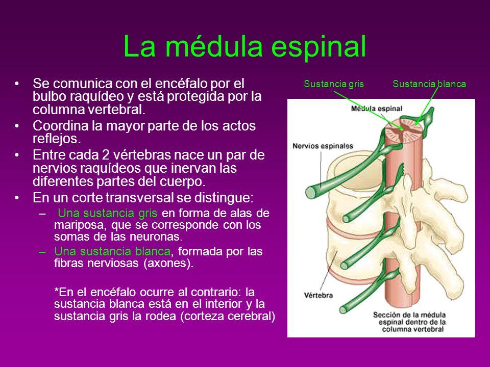 La médula espinalSe comunica con el encéfalo por el bulbo raquídeo y está protegida por la columna vertebral.