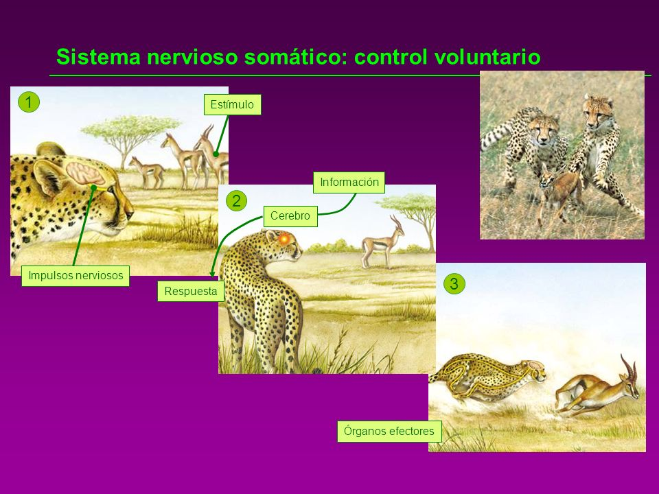 Sistema nervioso somático: control voluntario