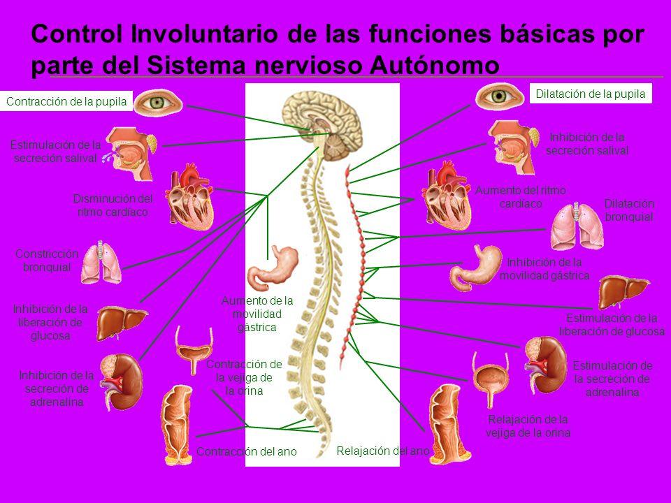Control Involuntario de las funciones básicas por parte del Sistema nervioso Autónomo