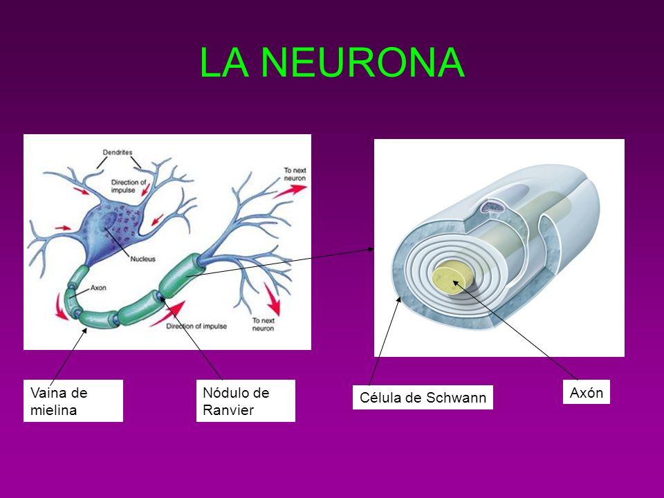 LA NEURONA Vaina de mielina Nódulo de Ranvier Axón Célula de Schwann