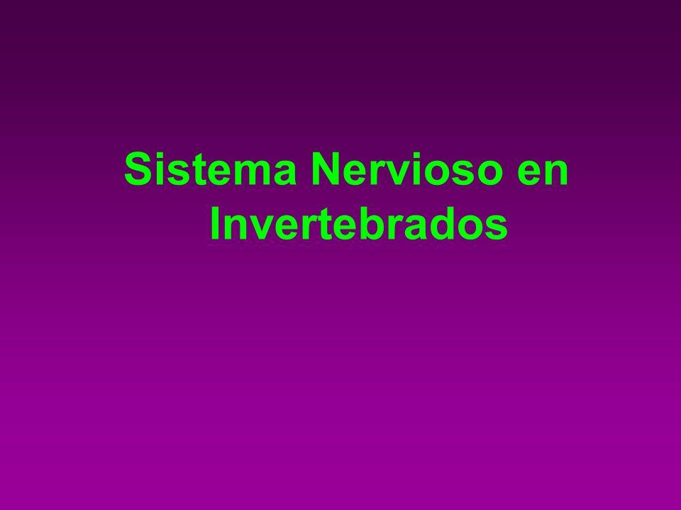 Sistema Nervioso en Invertebrados