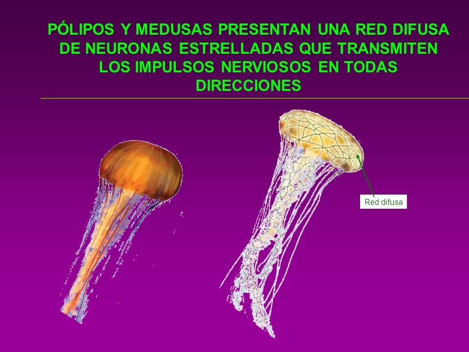 PÓLIPOS Y MEDUSAS PRESENTAN UNA RED DIFUSA DE NEURONAS ESTRELLADAS QUE TRANSMITEN LOS IMPULSOS NERVIOSOS EN TODAS DIRECCIONES