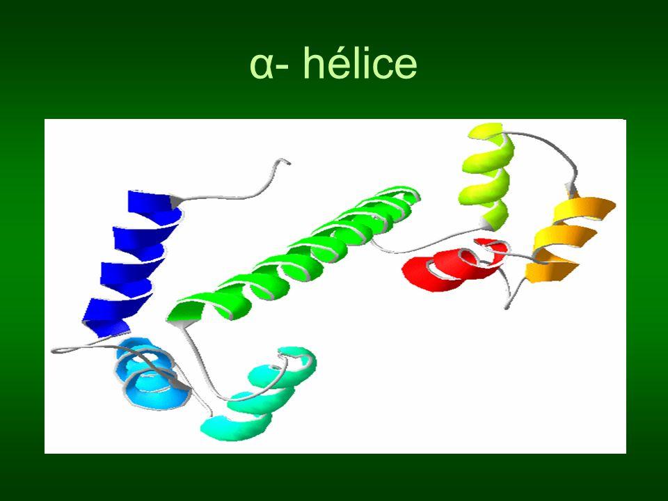 α- hélice
