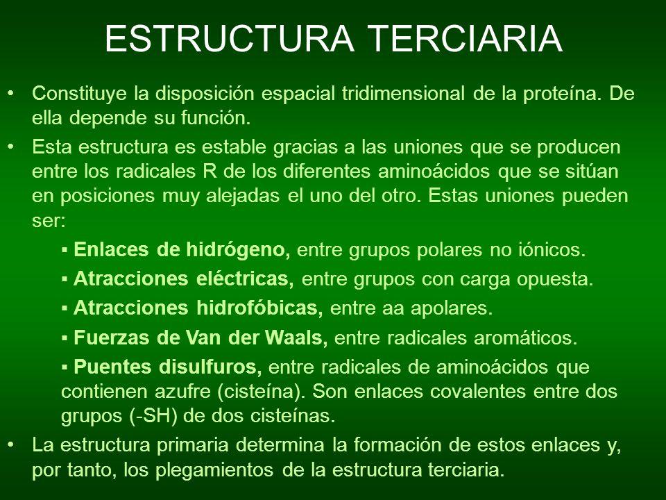 ESTRUCTURA TERCIARIA Constituye la disposición espacial tridimensional de la proteína. De ella depende su función.