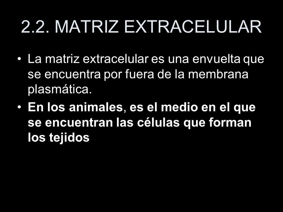 2.2. MATRIZ EXTRACELULAR La matriz extracelular es una envuelta que se encuentra por fuera de la membrana plasmática.