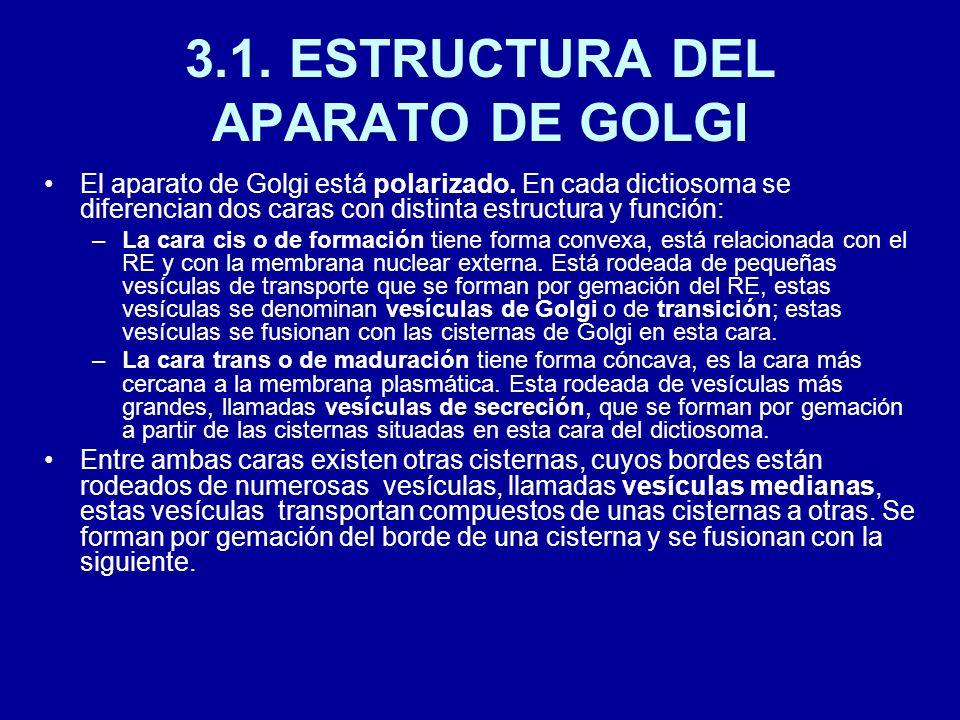 3.1. ESTRUCTURA DEL APARATO DE GOLGI