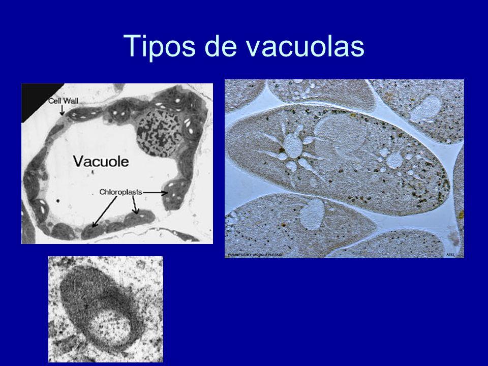 Tipos de vacuolas