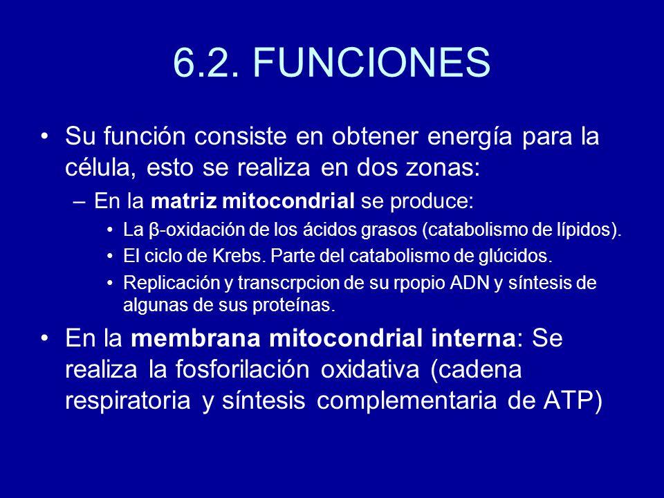 6.2. FUNCIONES Su función consiste en obtener energía para la célula, esto se realiza en dos zonas: