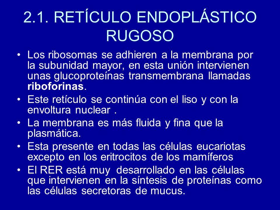 2.1. RETÍCULO ENDOPLÁSTICO RUGOSO