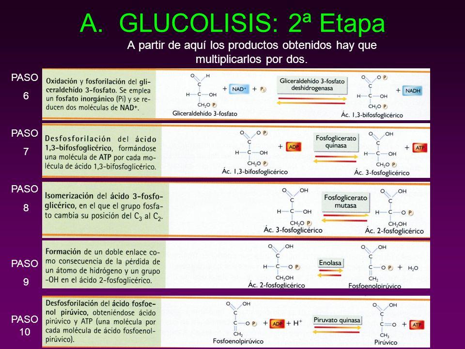 GLUCOLISIS: 2ª Etapa A partir de aquí los productos obtenidos hay que multiplicarlos por dos.