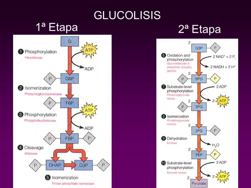 GLUCOLISIS 1ª Etapa 2ª Etapa