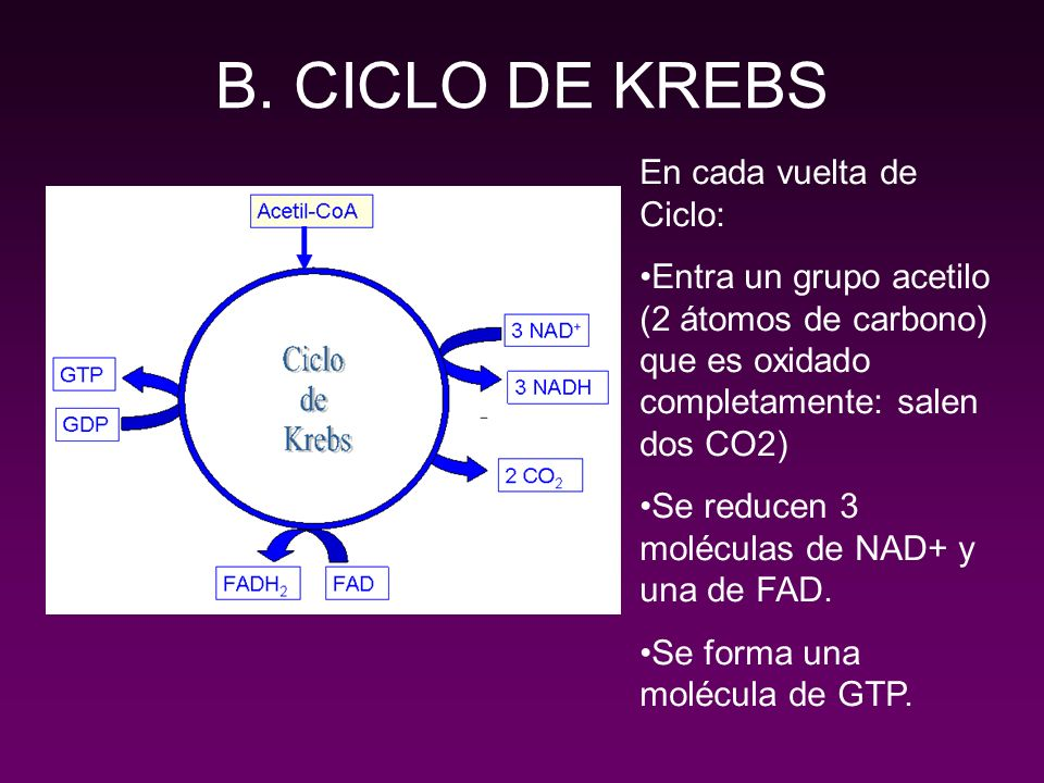 B. CICLO DE KREBS En cada vuelta de Ciclo: