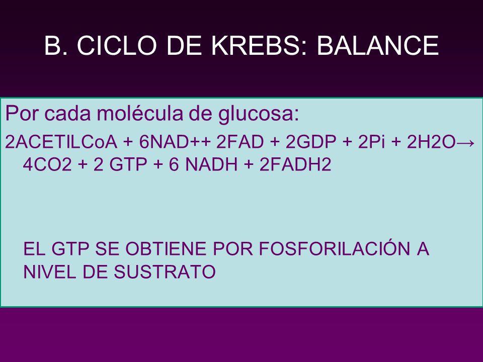B. CICLO DE KREBS: BALANCE