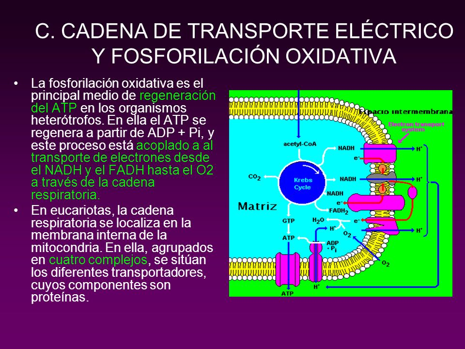 C. CADENA DE TRANSPORTE ELÉCTRICO Y FOSFORILACIÓN OXIDATIVA