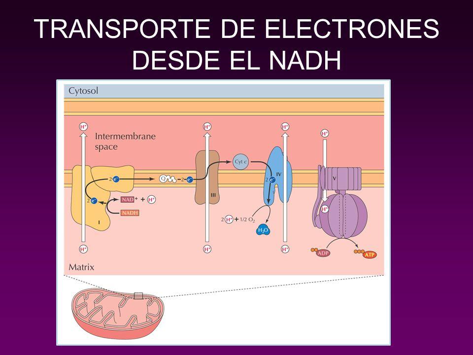 TRANSPORTE DE ELECTRONES DESDE EL NADH