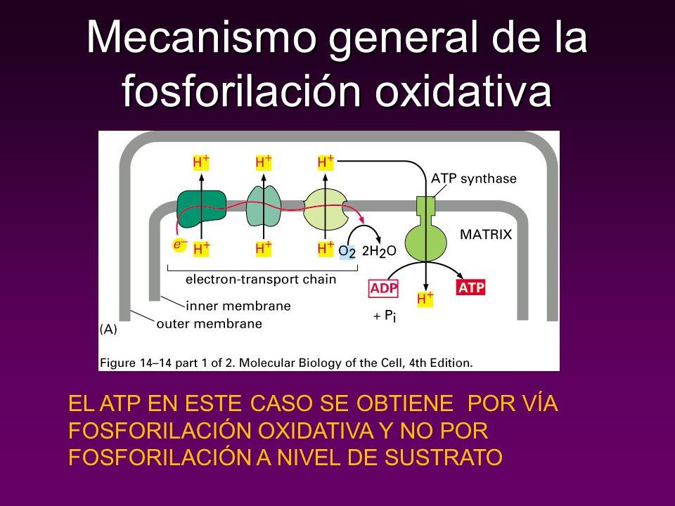 Mecanismo general de la fosforilación oxidativa