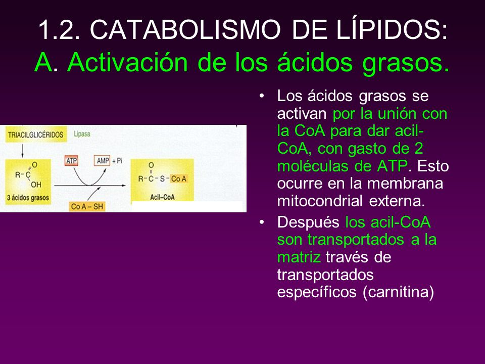 1.2. CATABOLISMO DE LÍPIDOS: A. Activación de los ácidos grasos.