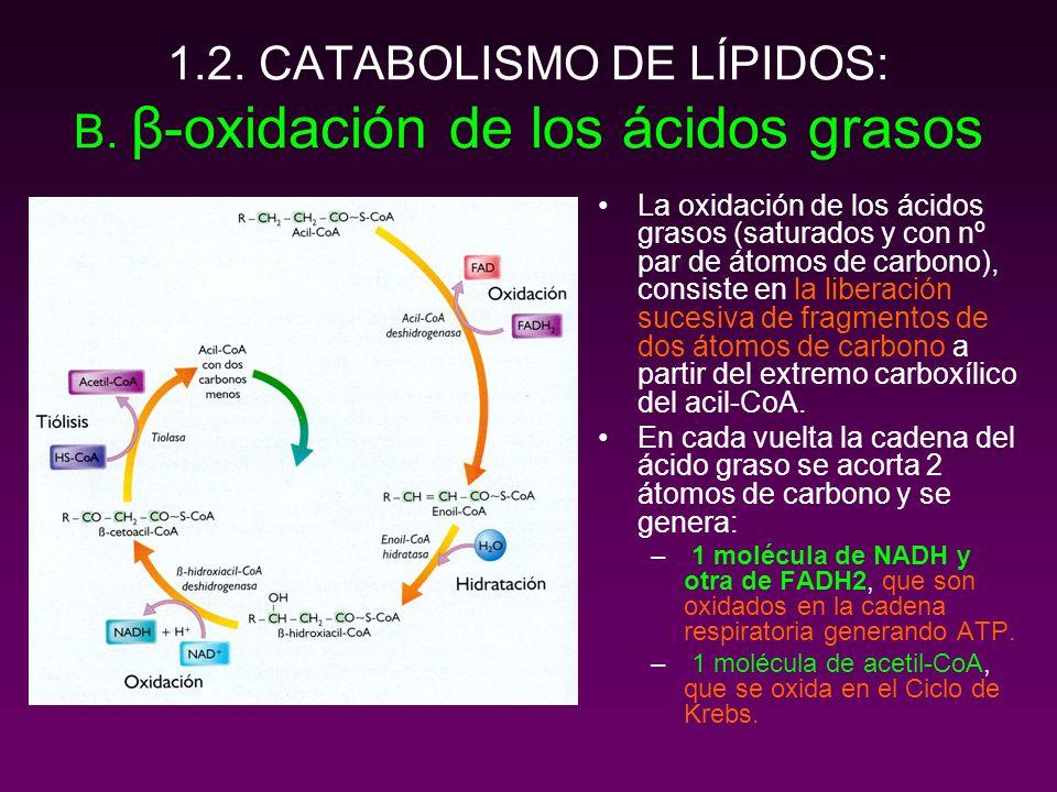 1.2. CATABOLISMO DE LÍPIDOS: B. β-oxidación de los ácidos grasos