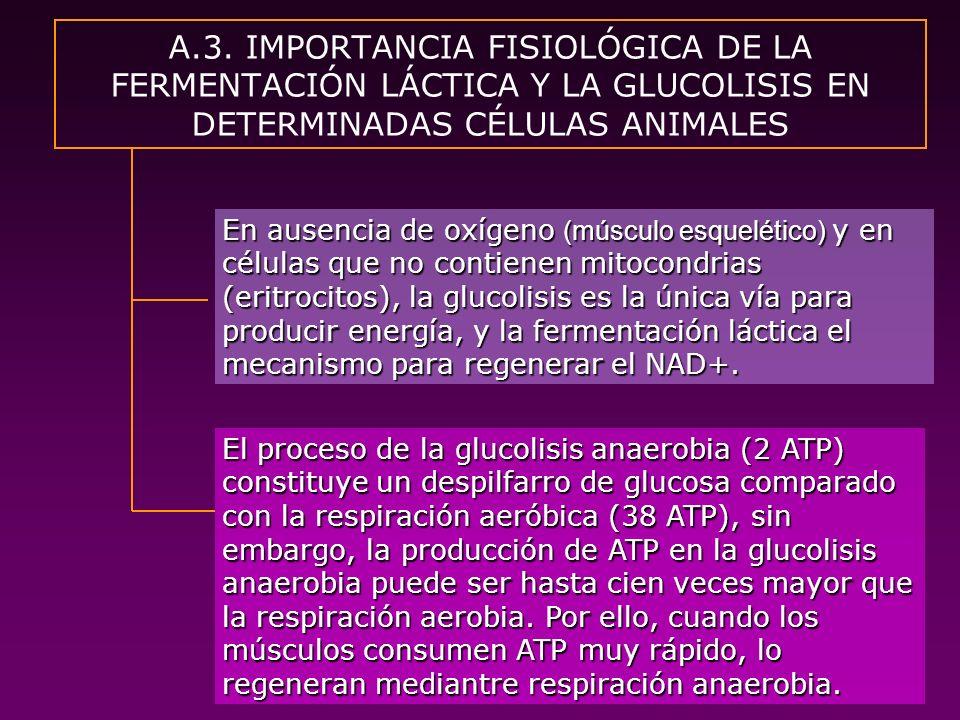 A.3. IMPORTANCIA FISIOLÓGICA DE LA FERMENTACIÓN LÁCTICA Y LA GLUCOLISIS EN DETERMINADAS CÉLULAS ANIMALES