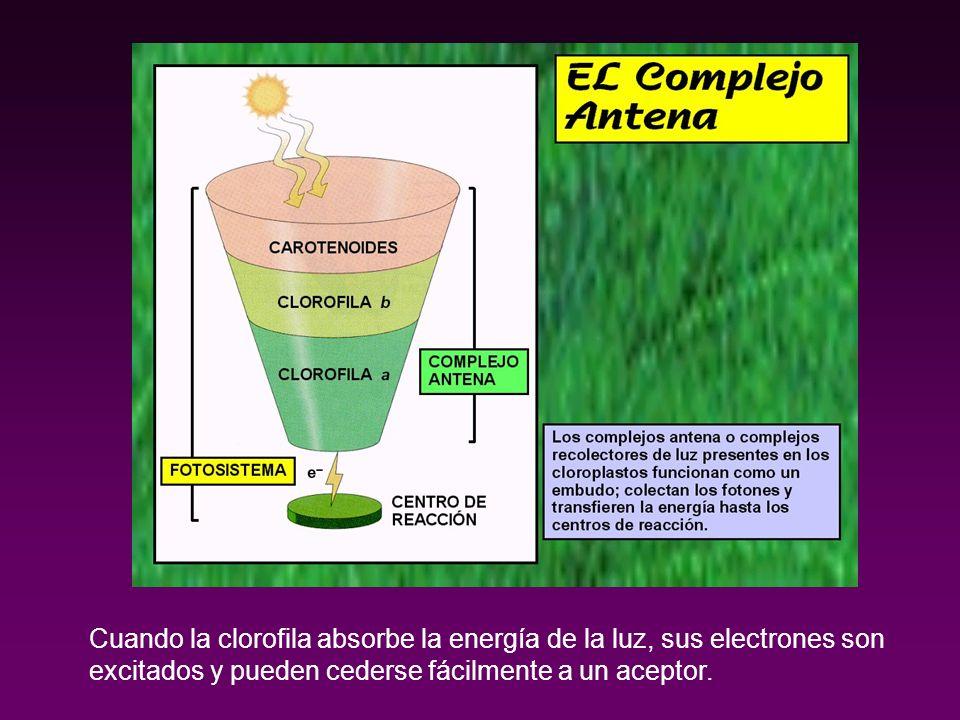 Cuando la clorofila absorbe la energía de la luz, sus electrones son excitados y pueden cederse fácilmente a un aceptor.