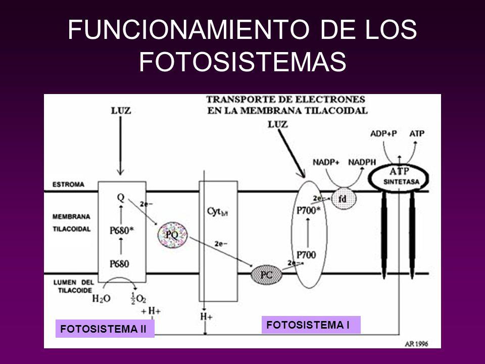 FUNCIONAMIENTO DE LOS FOTOSISTEMAS