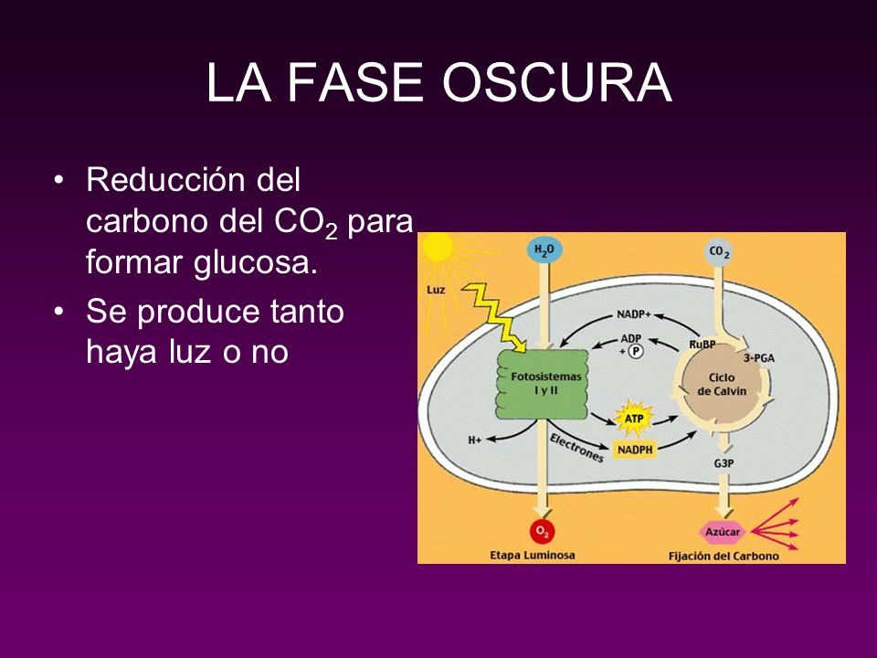 LA FASE OSCURA Reducción del carbono del CO2 para formar glucosa.