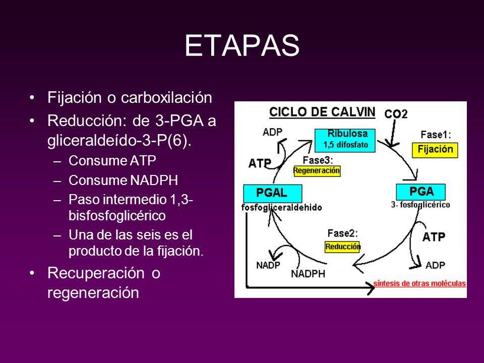 ETAPAS Fijación o carboxilación