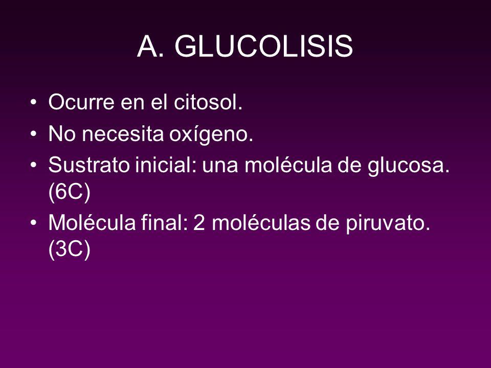 A. GLUCOLISIS Ocurre en el citosol. No necesita oxígeno.