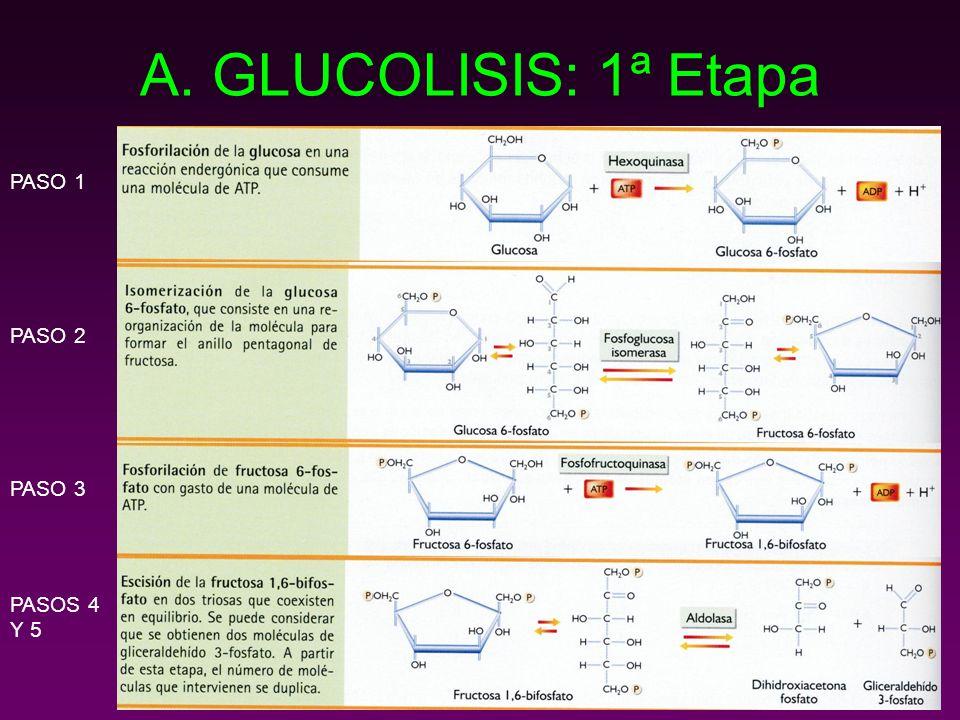 A. GLUCOLISIS: 1ª Etapa PASO 1 PASO 2 PASO 3 PASOS 4 Y 5