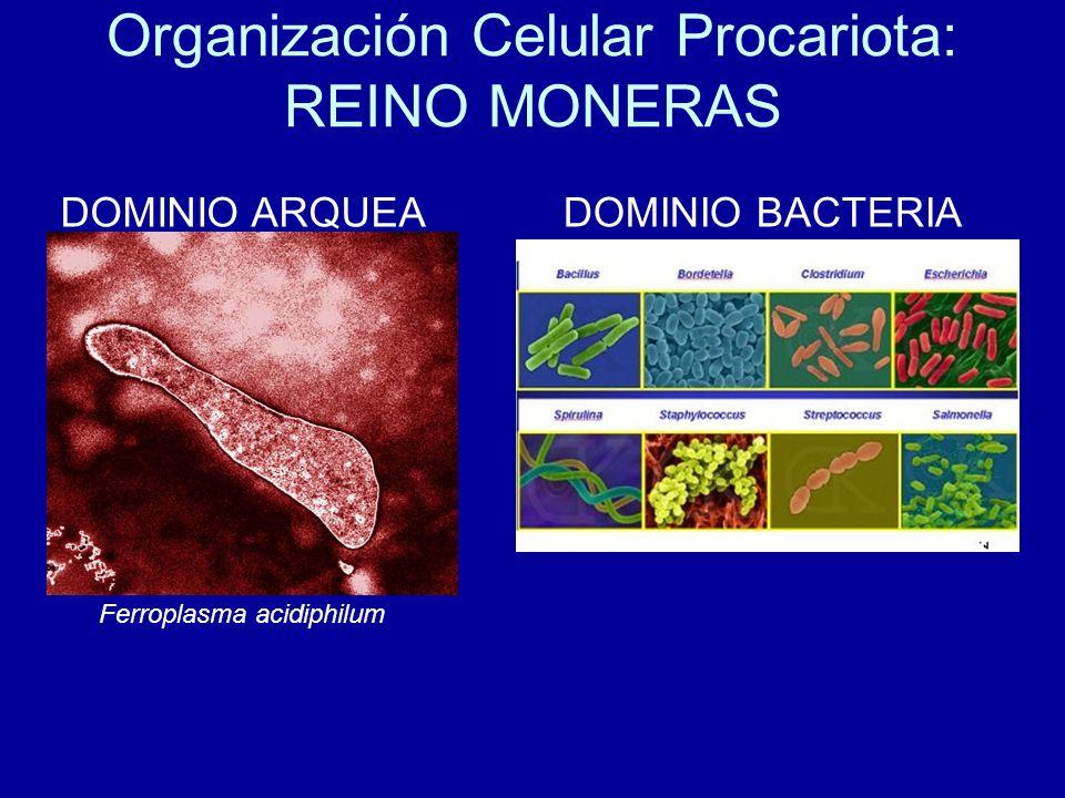 Organización Celular Procariota: REINO MONERAS