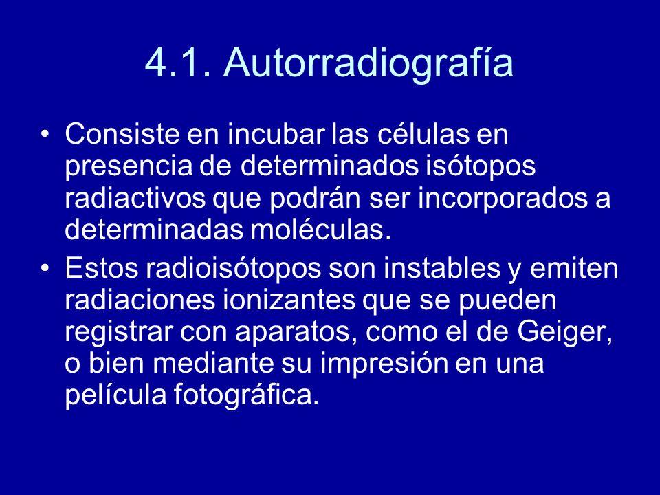 4.1. Autorradiografía
