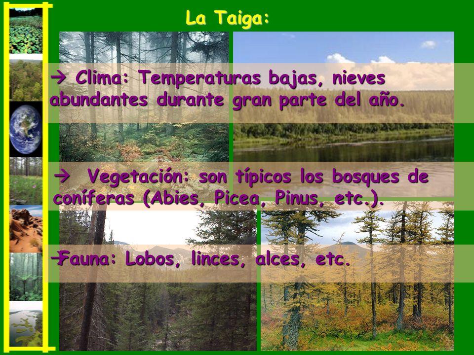 La Taiga:  Clima: Temperaturas bajas, nieves abundantes durante gran parte del año.