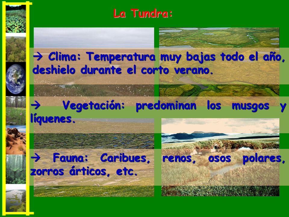 La Tundra:  Clima: Temperatura muy bajas todo el año, deshielo durante el corto verano.  Vegetación: predominan los musgos y líquenes.