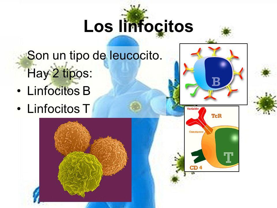 Los linfocitos Son un tipo de leucocito. Hay 2 tipos: Linfocitos B