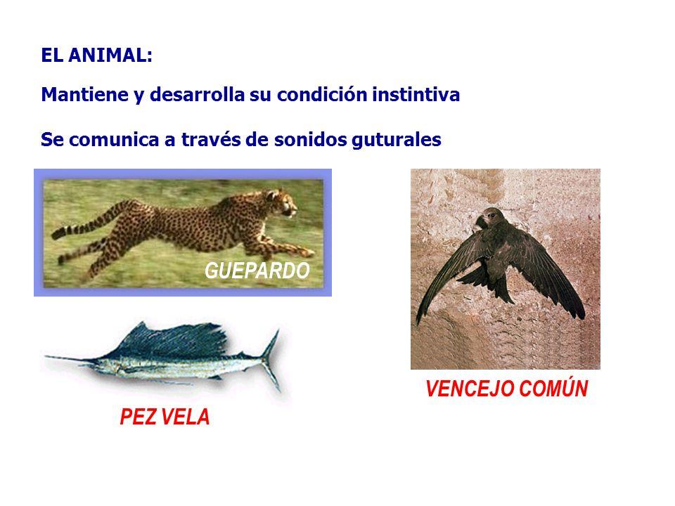 GUEPARDO VENCEJO COMÚN PEZ VELA EL ANIMAL: