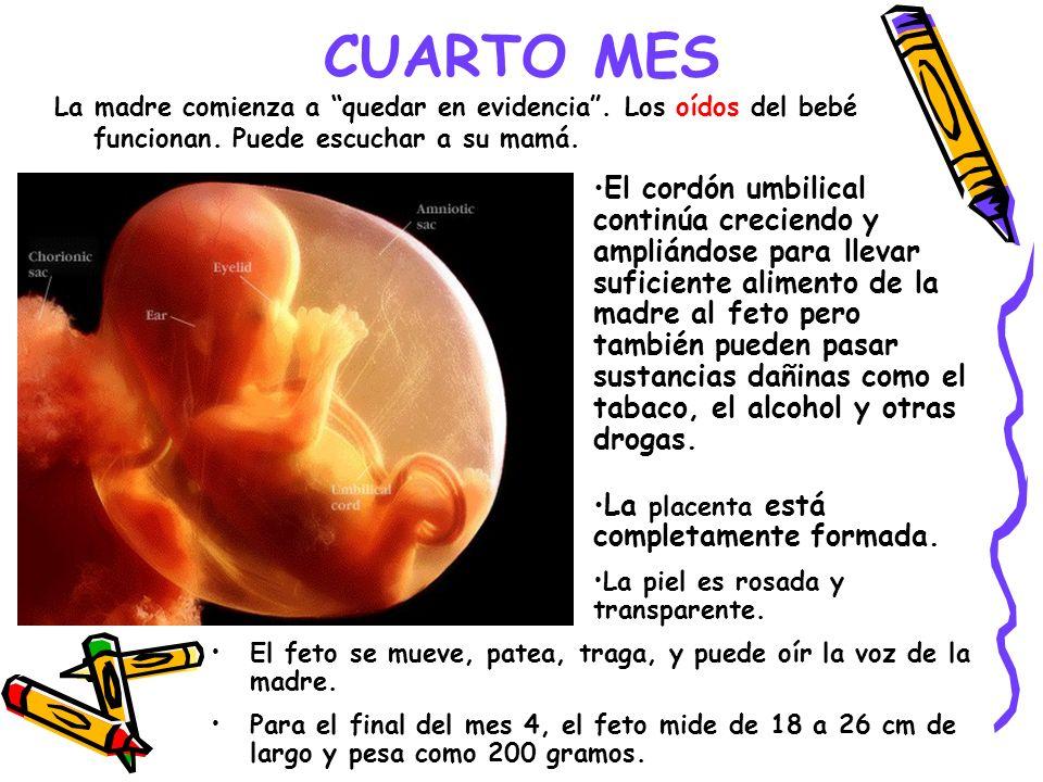 CUARTO MES La madre comienza a quedar en evidencia . Los oídos del bebé funcionan. Puede escuchar a su mamá.