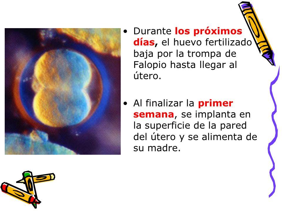Durante los próximos días, el huevo fertilizado baja por la trompa de Falopio hasta llegar al útero.