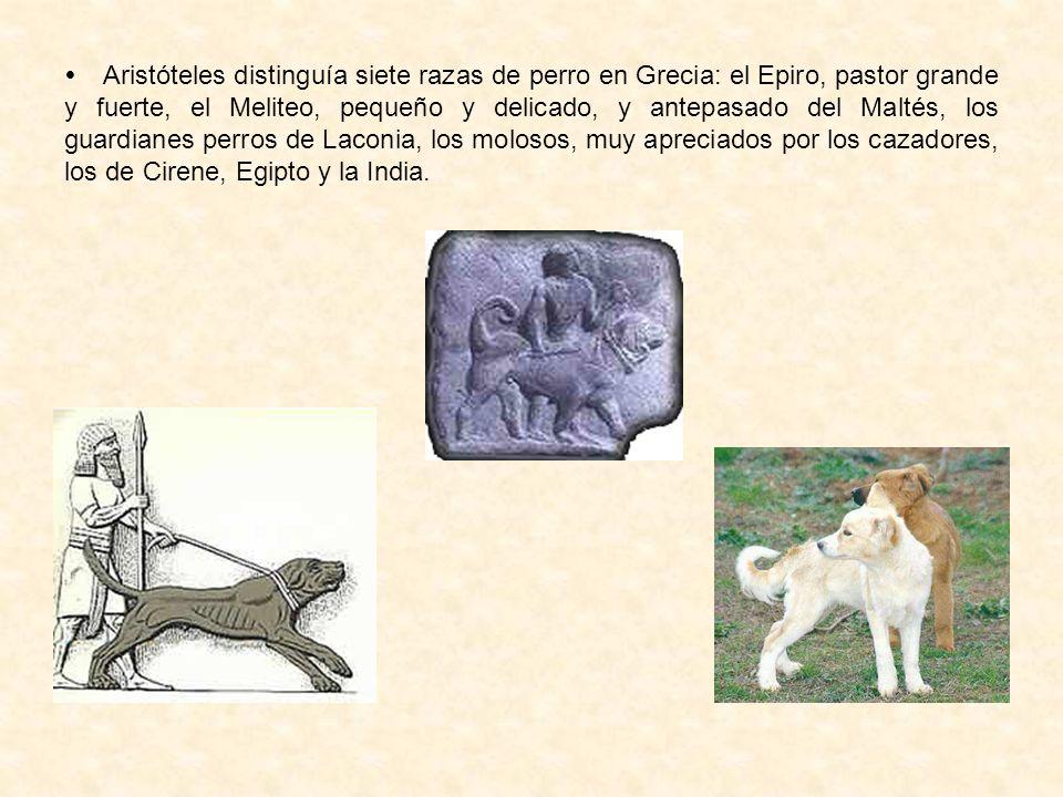  Aristóteles distinguía siete razas de perro en Grecia: el Epiro, pastor grande y fuerte, el Meliteo, pequeño y delicado, y antepasado del Maltés, los guardianes perros de Laconia, los molosos, muy apreciados por los cazadores, los de Cirene, Egipto y la India.