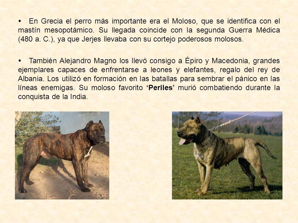  En Grecia el perro más importante era el Moloso, que se identifica con el mastín mesopotámico. Su llegada coincide con la segunda Guerra Médica (480 a. C.), ya que Jerjes llevaba con su cortejo poderosos molosos.