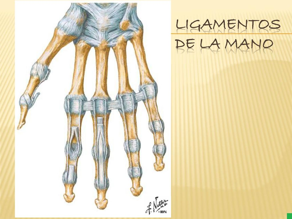 Único Anatomía Breyer En Movimiento Foto - Anatomía de Las ...