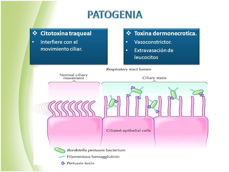 PATOGENIA Citotoxina traqueal Toxina dermonecrotica.