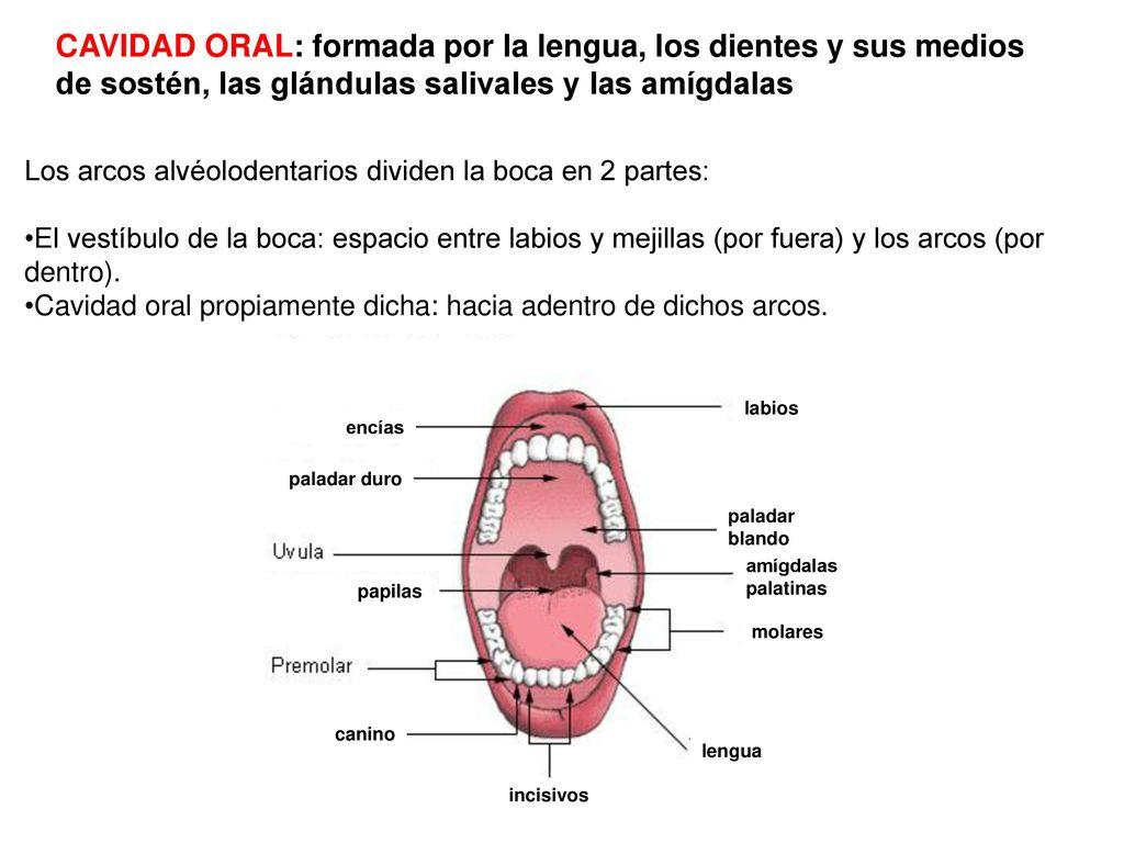Asombroso La Anatomía Y La Fisiología De La Cavidad Oral ...