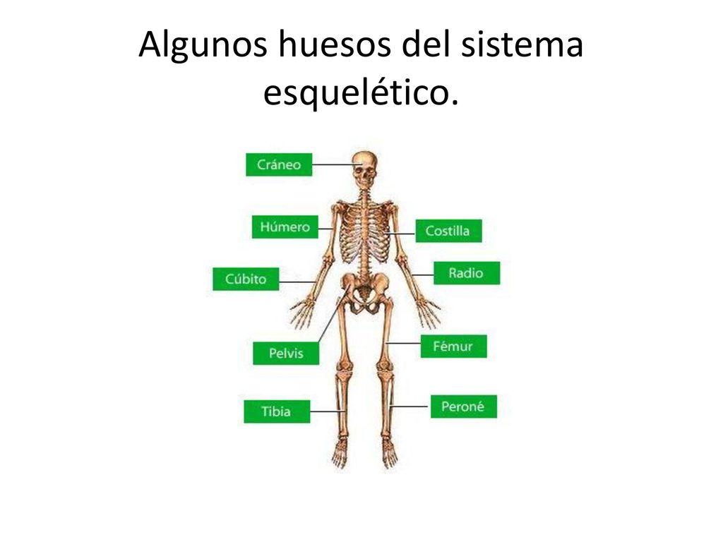 Magnífico El Diagrama Del Sistema Esquelético Etiquetado Composición ...